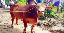 মহাদেবপুরে দু'টি চোরাই গরু উদ্ধার