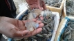 চিংড়ি মাছে জেলি মেশানোর দায়ে ৫০ হাজার টাকা জরিমানা