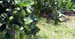 করোনায় কপাল খুলেছে নওগাঁর লেবু চাষিদের