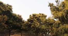 পোরশায় মুকুলে ভরে গেছে আমবাগান