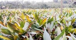 মহাদেবপুরে ব্যাপক জমিতে হলুদ চাষ, বাম্পার ফলনের সম্ভাবনা