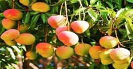 এবার আম উৎপাদনের শীর্ষে নওগাঁ জেলা