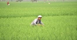 ধামইরহাটে মাঠ ভরা সবুজ ধানে দোল খাচ্ছে কৃষকের স্বপ্ন