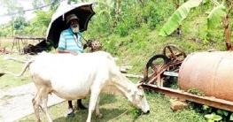 আত্রাইয়ে গো-খাদ্যের তীব্র সংকট: বিপাকে খামারি-গৃহস্থরা