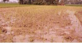 ধামইরহাটে শত্রুতার বিষে নষ্ট হলো কৃষকের ধান ও বীজতলা