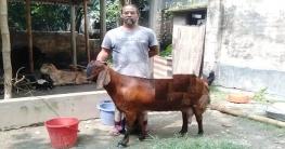নওগাঁ ৮০ কেজি ওজনের 'লালির' দাম ৭০ হাজার