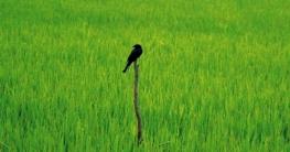 মহাদেবপুরে জমির ক্ষতিকর পোকা দমনে পাখি