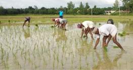পোরশায় আমন চাষাবাদে ব্যস্ত সময় পার করছেন চাষীরা