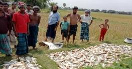 পোরশায় পুকুরে গ্যাসবড়ি প্রয়োগে মাছ নিধন