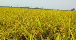ধামইরহাটে ১৯ হাজার হেক্টর জমিতে কৃষকের সোনালী স্বপ্ন দুলছে