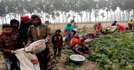 ধামইরহাটে আগাম আলুর বাম্পার ফলনে কৃষকের মুখে হাসি