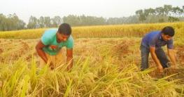 ধামইরহাটে অসহায় কৃষকের ধান কেটে দিল মানবসেবা সংগঠন