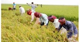 আত্রাইয়ে ধানের দাম কম, বিপাকে কৃষকরা