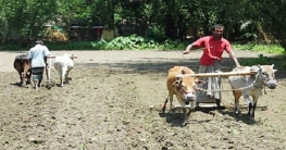 নওগাঁয় হারাচ্ছে গ্রাম বাংলার ঐতিহ্য গরুর হাল