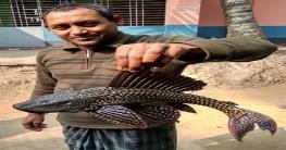 আত্রাইয়ে ধরা পড়েছে বিরল প্রজাতির মাছ