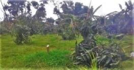 পত্নীতলায় কৃষকের ৬০টি আমগাছ কেটেছে দুর্বৃত্তরা