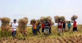 বদলগাছীতে কৃষকের দেড় একর জমির ধান কেটে দিলো ছাত্রলীগ