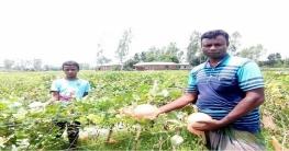 সৌদির মরুভূমির 'সাম্মাম' ফল এখন নওগাঁর  আত্রাইয়ে